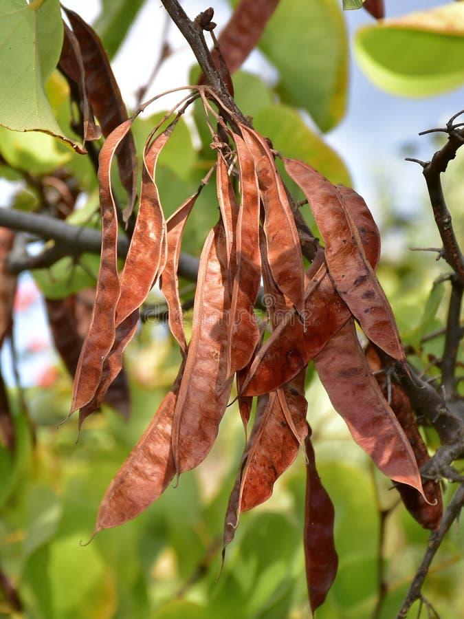 Fruto da árvore de Jydas foto de stock