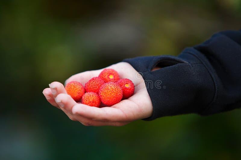 Fruto da árvore de morango no close-up da palma disponível imagens de stock