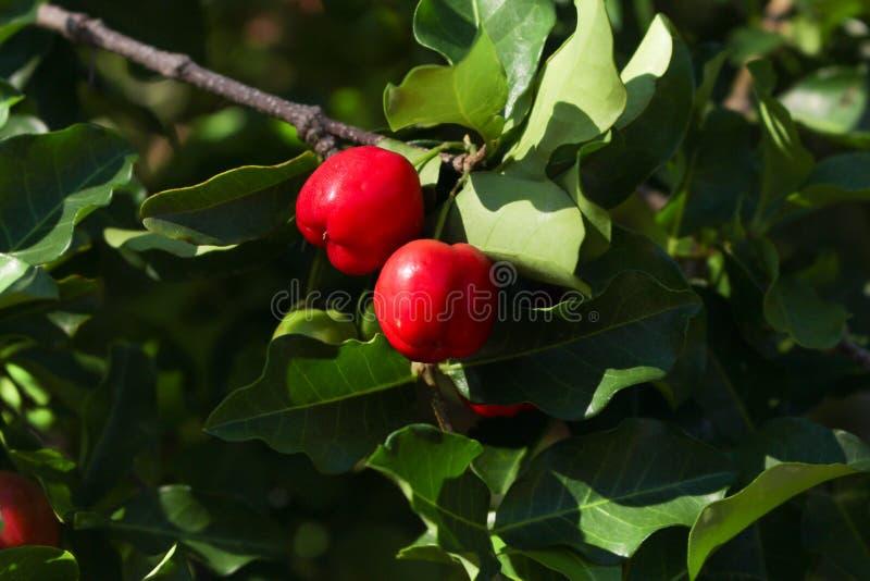 Fruto da cereja de Barbados na ?rvore fotografia de stock