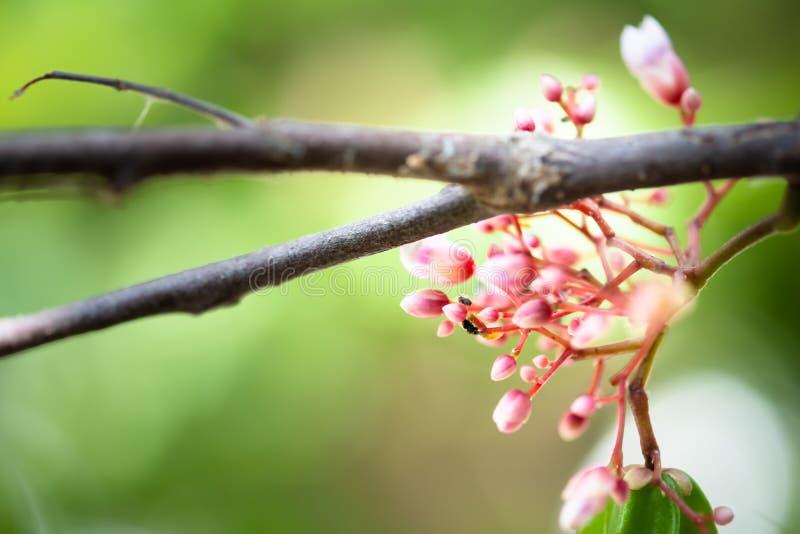 fruto da flor da maçã de estrela com moscas de rastejamento fotografia de stock