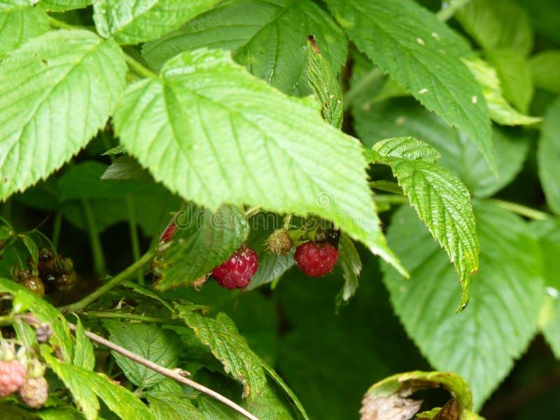 Fruto da framboesa vermelha no arbusto molhado imagens de stock royalty free