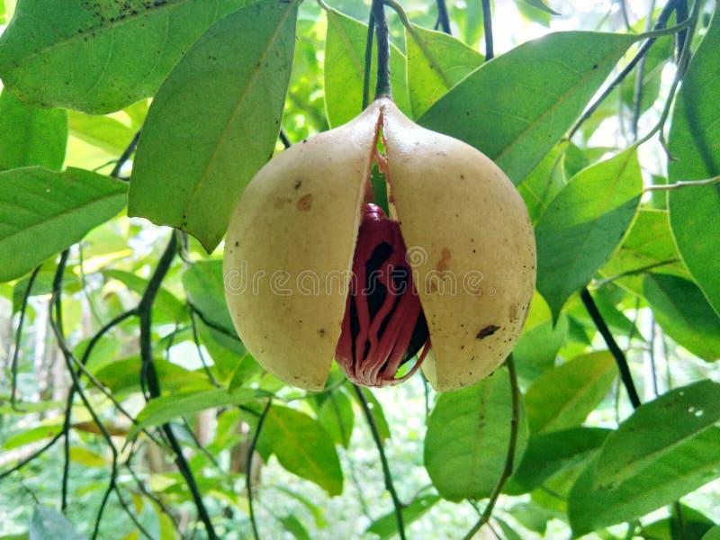Fruto da noz-moscada fotografia de stock