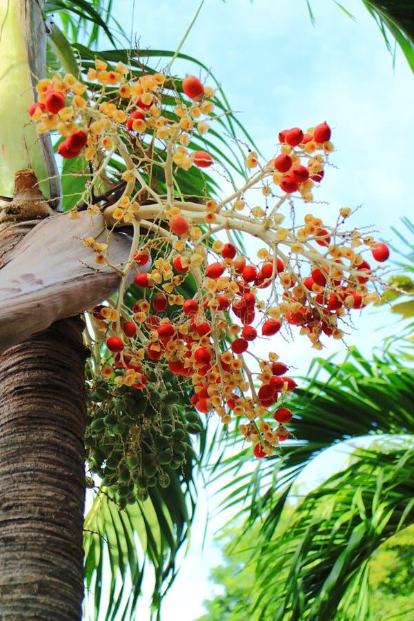 Fruto da palma de Manila foto de stock