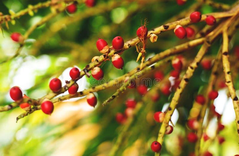 Fruto da palma do Natal fotografia de stock