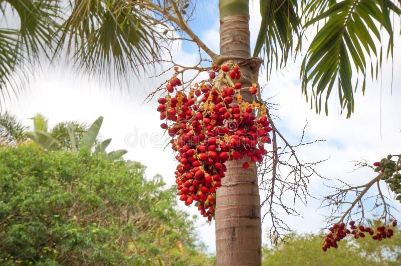 Fruto da palma do Natal ou da palma de Manila imagem de stock