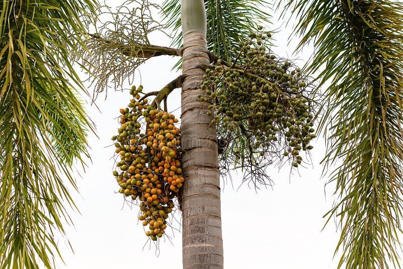 Fruto da palma - planta decorativa nos jardins, palma da decoração de cera da selagem do renda de Cyrtostachys foto de stock