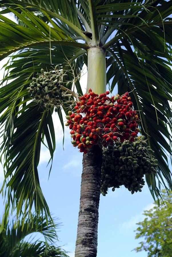 Fruto da palma real foto de stock