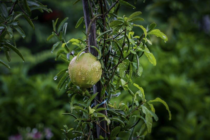 Fruto da romã e tronco maduros da árvore/Dalim fal imagem de stock royalty free