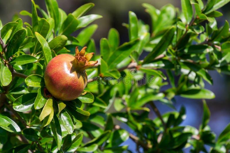Fruto da romã que penduram em uma árvore com feixes do por do sol e jardim borrado no fundo foto de stock