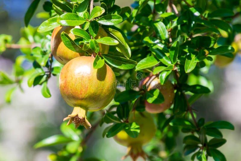 Fruto da romã que penduram em uma árvore com feixes do por do sol e jardim borrado no fundo imagens de stock royalty free