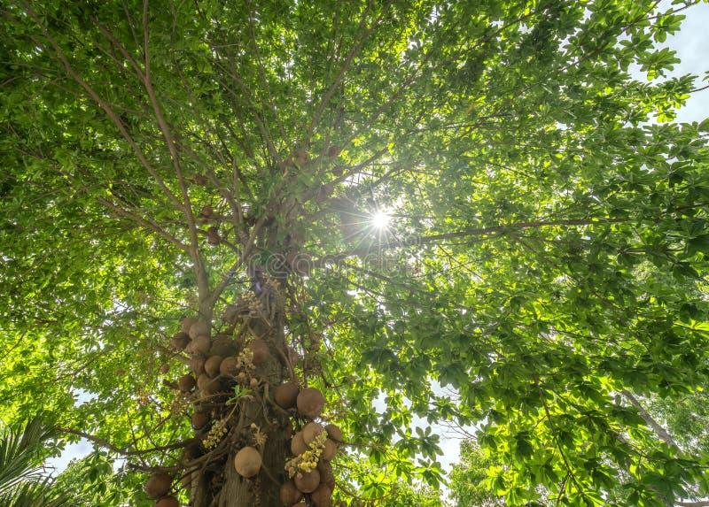 Fruto de árvore cercado da bola de canhão, imagens de stock