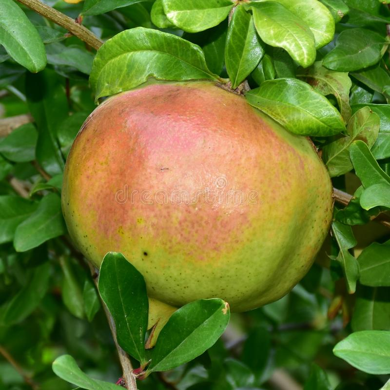 Fruto de árvore da romã, protopunica do Punica fotos de stock royalty free