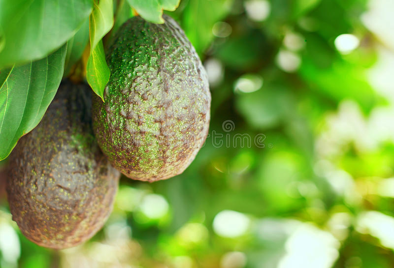 Fruto de abacate na árvore imagens de stock royalty free