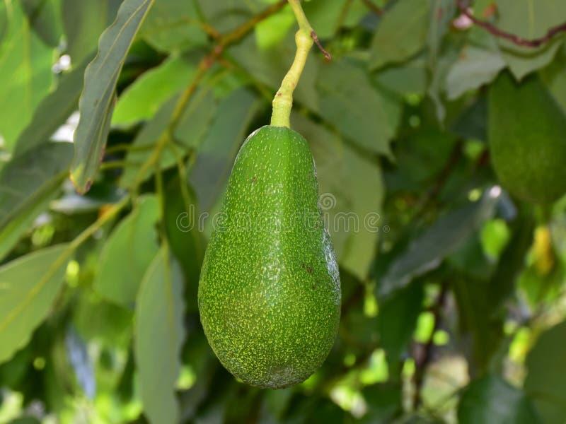 Fruto de Avocade imagens de stock
