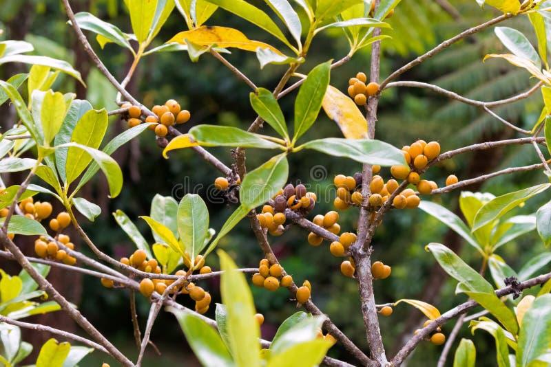 Fruto de baga alaranjado maduro do close up com as sementes do cheesewood da resina, foto de stock royalty free