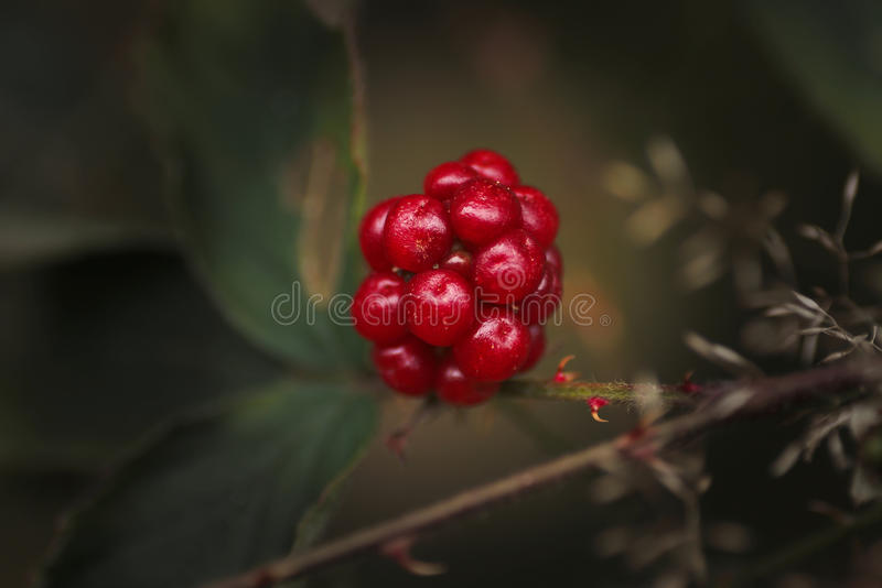Fruto de Blackberry imagens de stock royalty free