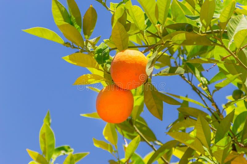 Fruto de duas laranjas na árvore fotografia de stock royalty free