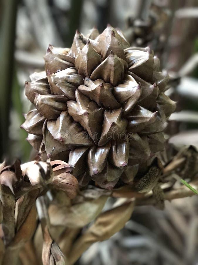 Fruto de fruticans do Nypa ou de palma dos manguezais fotografia de stock
