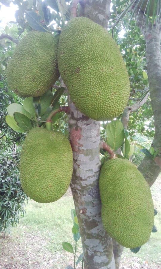 Fruto de Jack do bangladeshiano imagens de stock