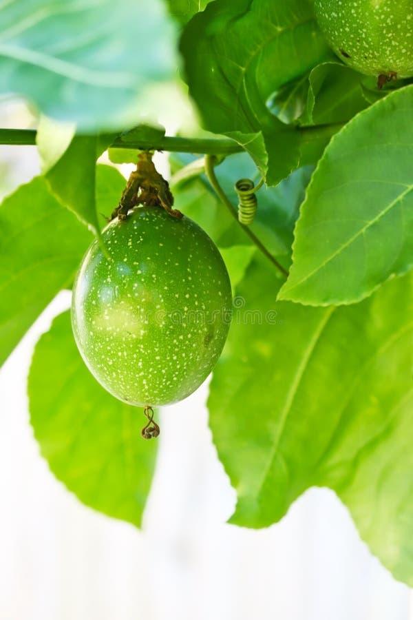Fruto de paixão verde novo crescente foto de stock royalty free