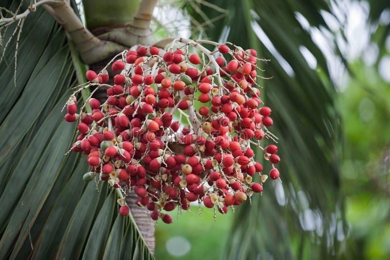 Fruto de palmeira vermelho brilhante foto de stock