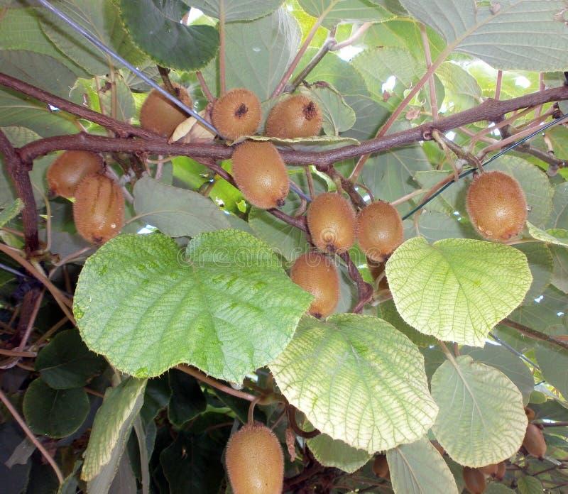 Fruto de quivi, fruto do sul imagens de stock