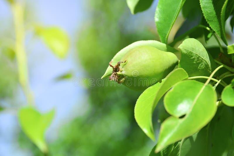 Fruto de uma pera nova em uma árvore Close up de uma pera verde que cresce em um ramo das árvores de folhas mortas Close-up imagem de stock royalty free