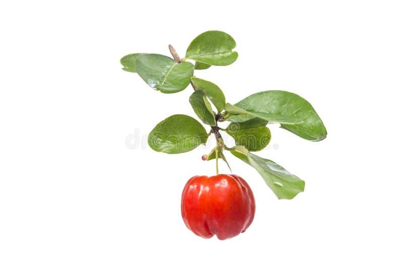 Fruto do Acerola fotos de stock