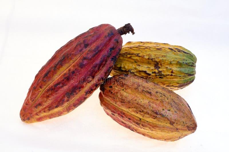 Fruto do cacau da variedade do Criollo fotografia de stock royalty free