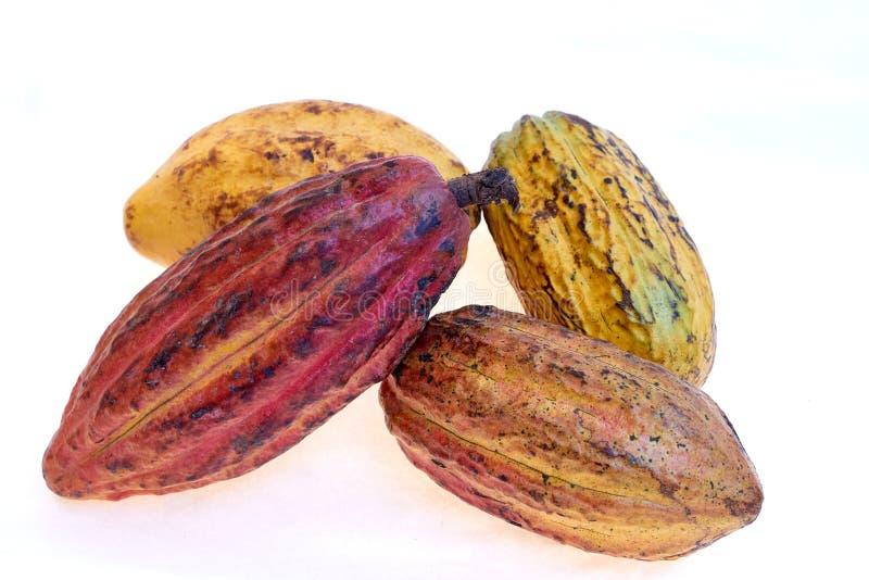 Fruto do cacau da variedade do Criollo fotografia de stock