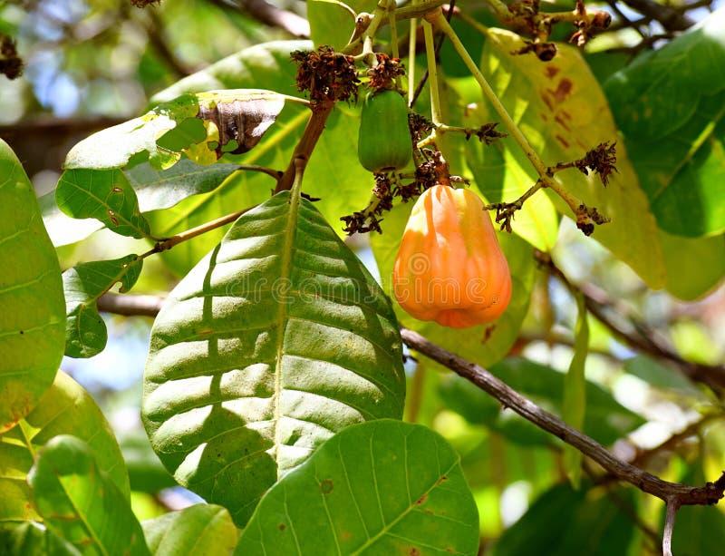 Fruto do caju com a porca no ramo da árvore de caju - Anacardium Occidentale fotografia de stock royalty free