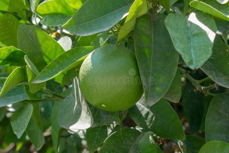 Fruto do cal que pendura em um ramo cercado pela folha verde imagens de stock royalty free