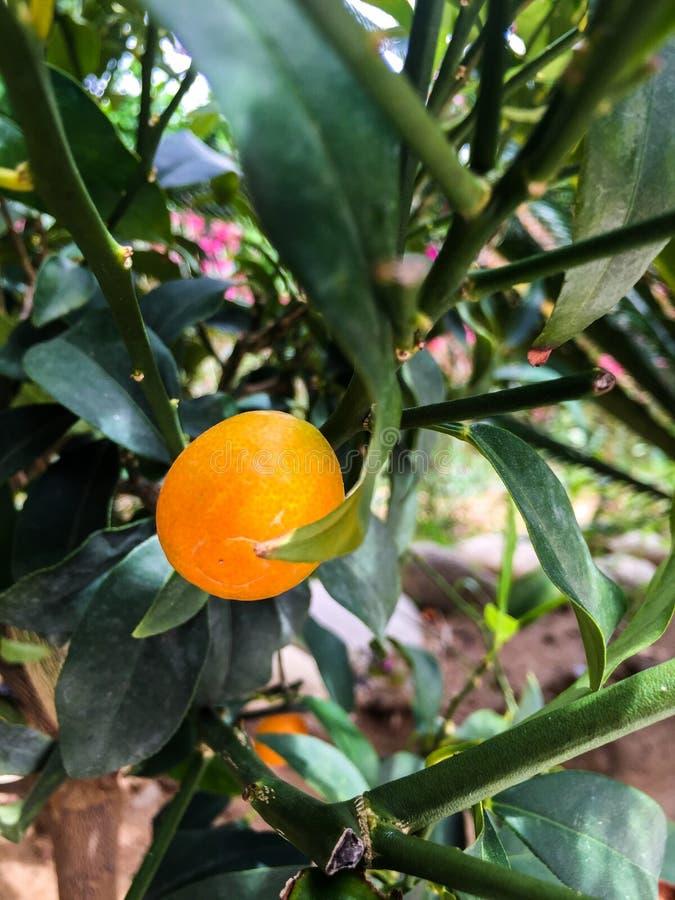 Fruto do Kumquat imagens de stock royalty free