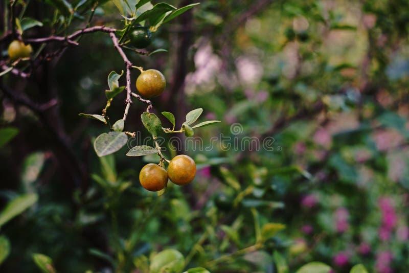 Fruto do Kumquat fotografia de stock