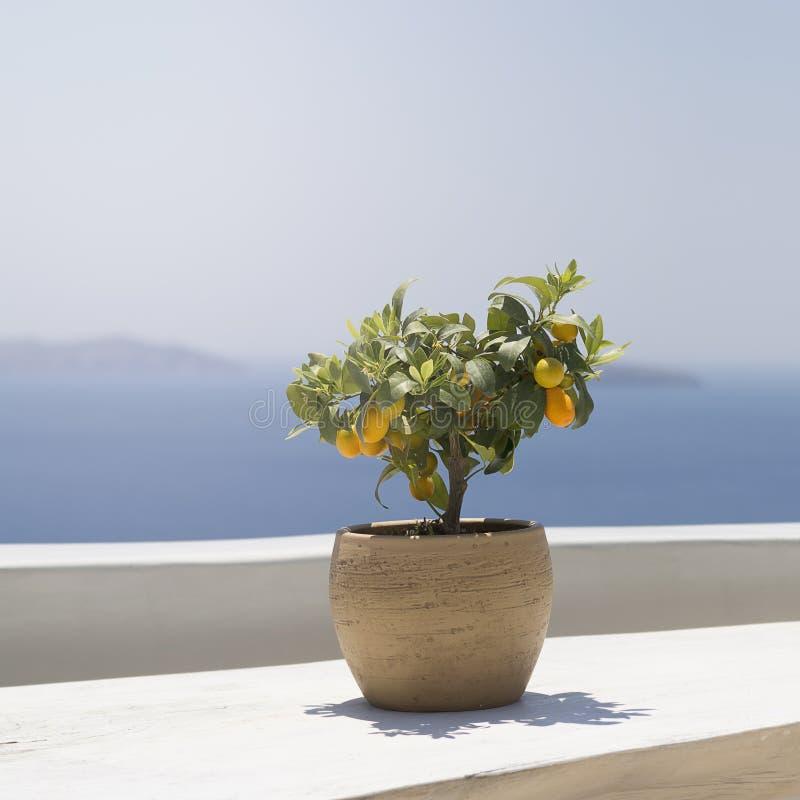 Fruto do Kumquat maduro em uma árvore nova que está em uma tabela de madeira em um fundo das montanhas e o mar no sol imagens de stock