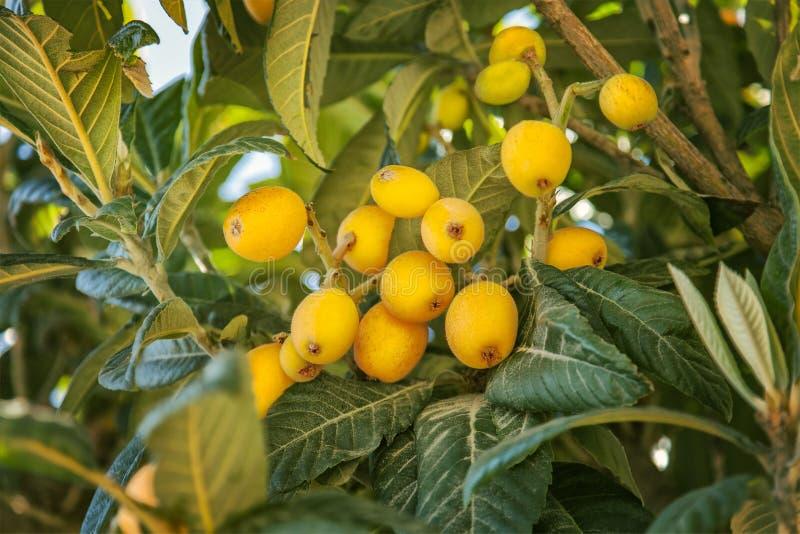 Fruto do Loquat foto de stock royalty free