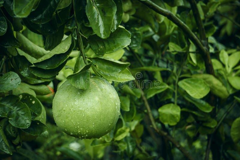 Fruto do Pomelo que pendura na árvore com gota da chuva imagem de stock royalty free