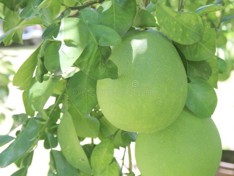 Fruto do Pomelo que pendura na árvore no jardim imagem de stock
