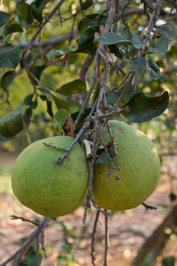 Fruto do Pomelo que pendura na árvore no jardim imagens de stock