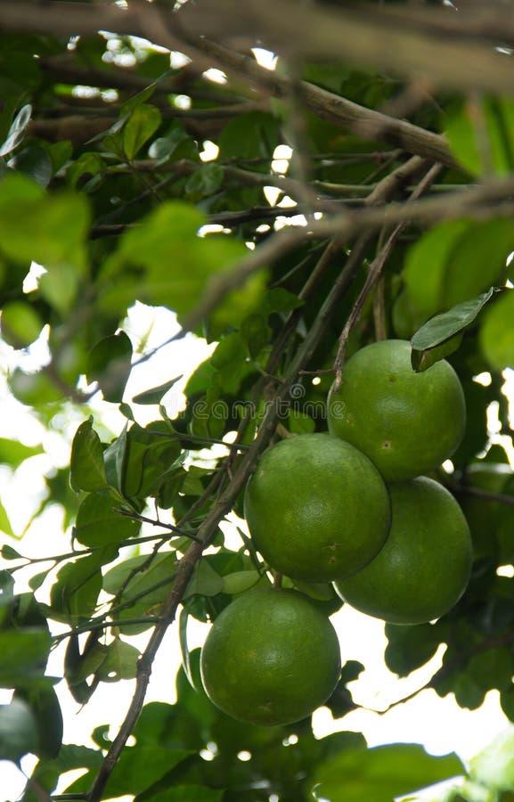 Fruto do Pomelo que pendura na árvore no jardim fotografia de stock royalty free