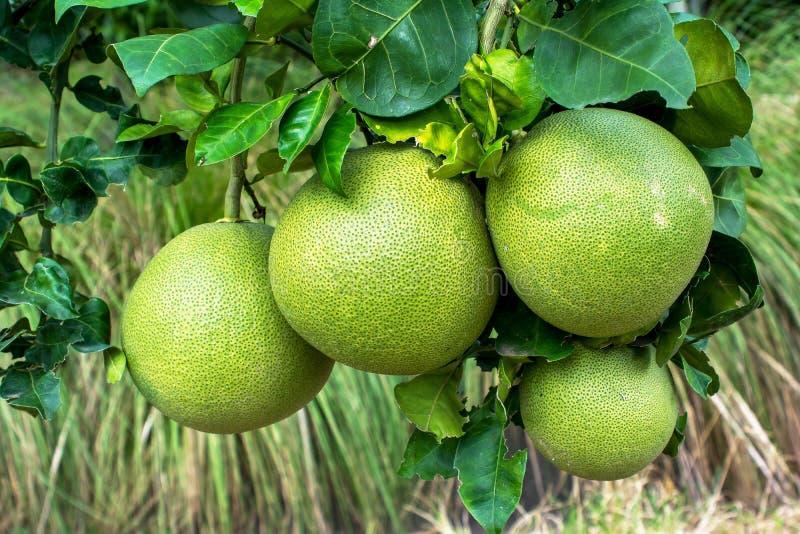 Fruto do Pomelo que pendura na ?rvore no jardim Planta de fruto do Pomelo fotografia de stock royalty free