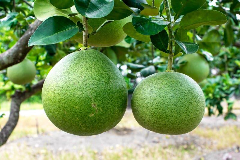 Fruto do Pomelo que pendura na ?rvore Planta de fruto do Pomelo foto de stock royalty free