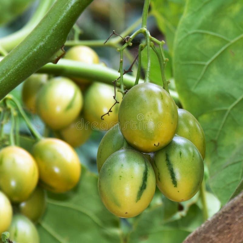 Fruto do tamarillo de Unriped foto de stock royalty free