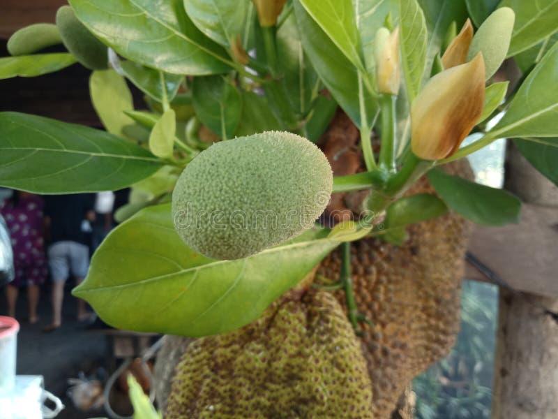 Fruto doce delicioso do heterophyllus de Artocarpus, fruto do jaque imagens de stock