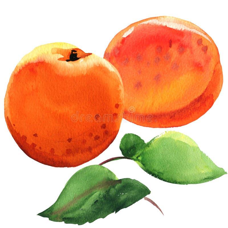 Fruto doce fresco do abricó, dois abricós maduros suculentos com folhas verdes, ilustração isolada, tirada da aquarela no branco ilustração do vetor