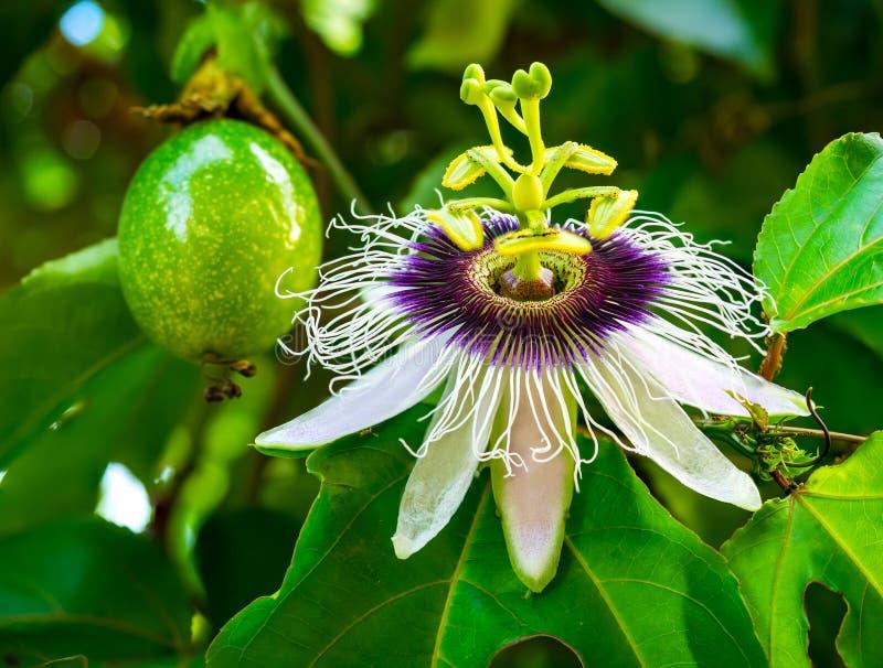 Fruto e flor de paixão foto de stock royalty free