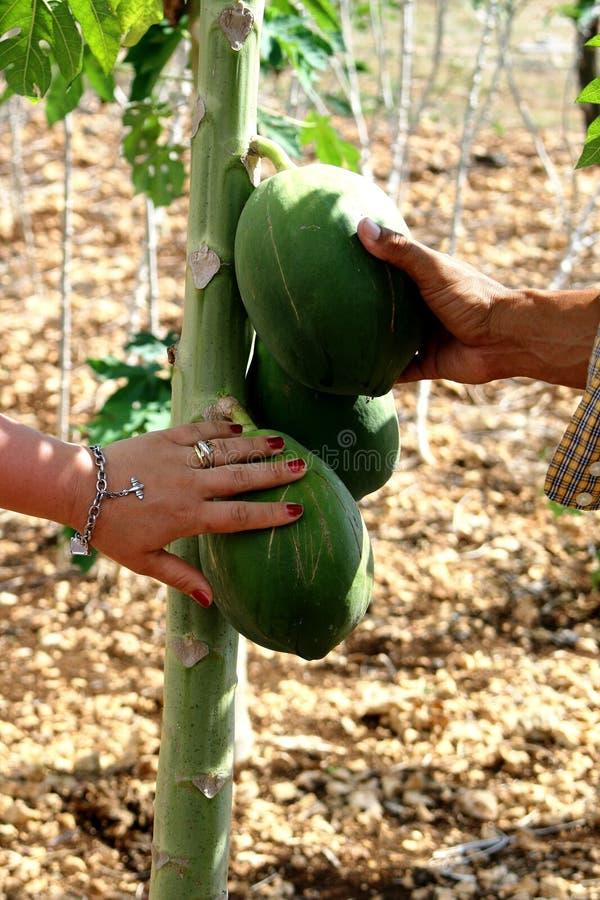 Fruto exótico em Santo Domingo: amigos imagens de stock royalty free