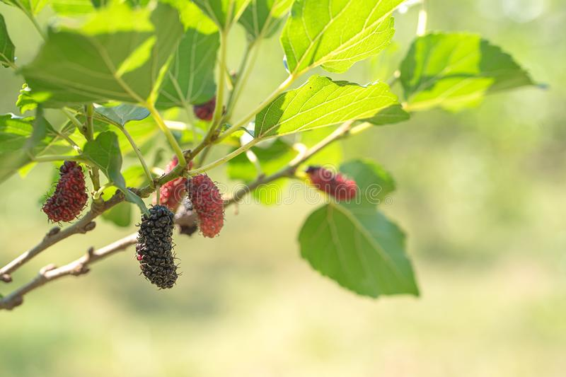 Fruto fresco da amoreira na árvore na natureza imagem de stock royalty free