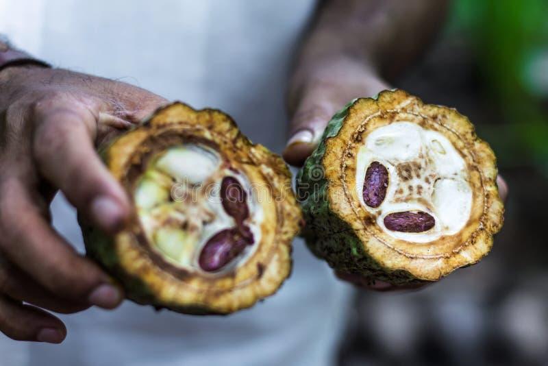 Fruto fresco do cacau nos fazendeiros foto de stock royalty free