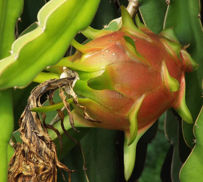Fruto fresco do dragão fotos de stock